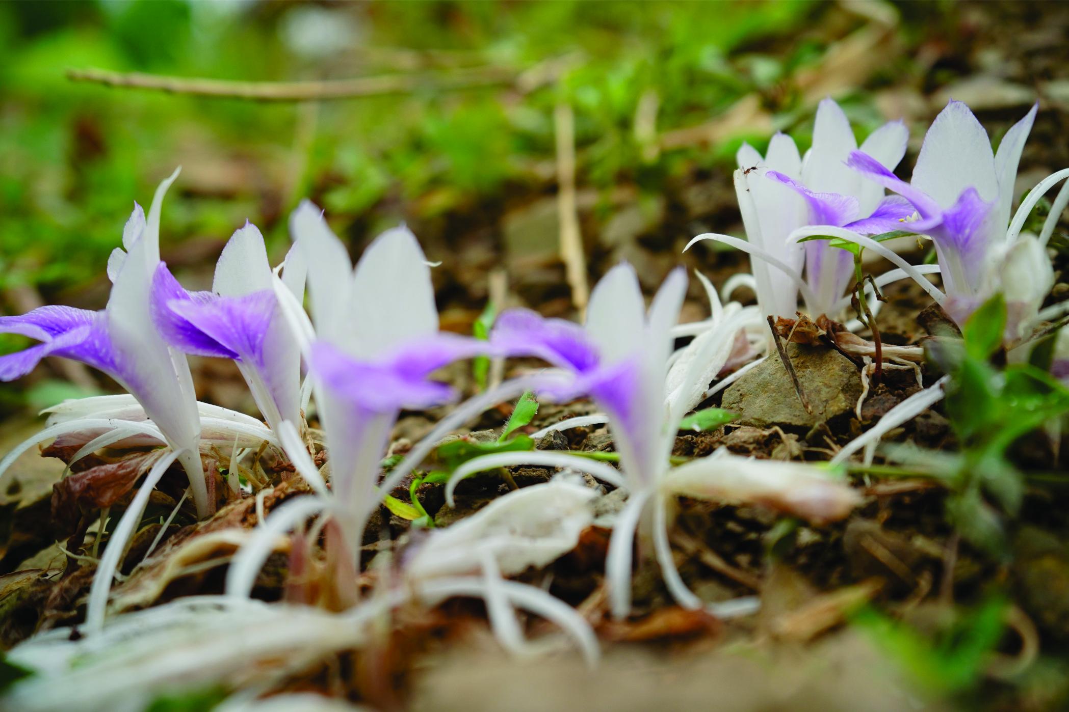 'लकडाउन : माङसेबुङ परिसरमा फुलेका फुलहरु (फोटो फिचर सहित)